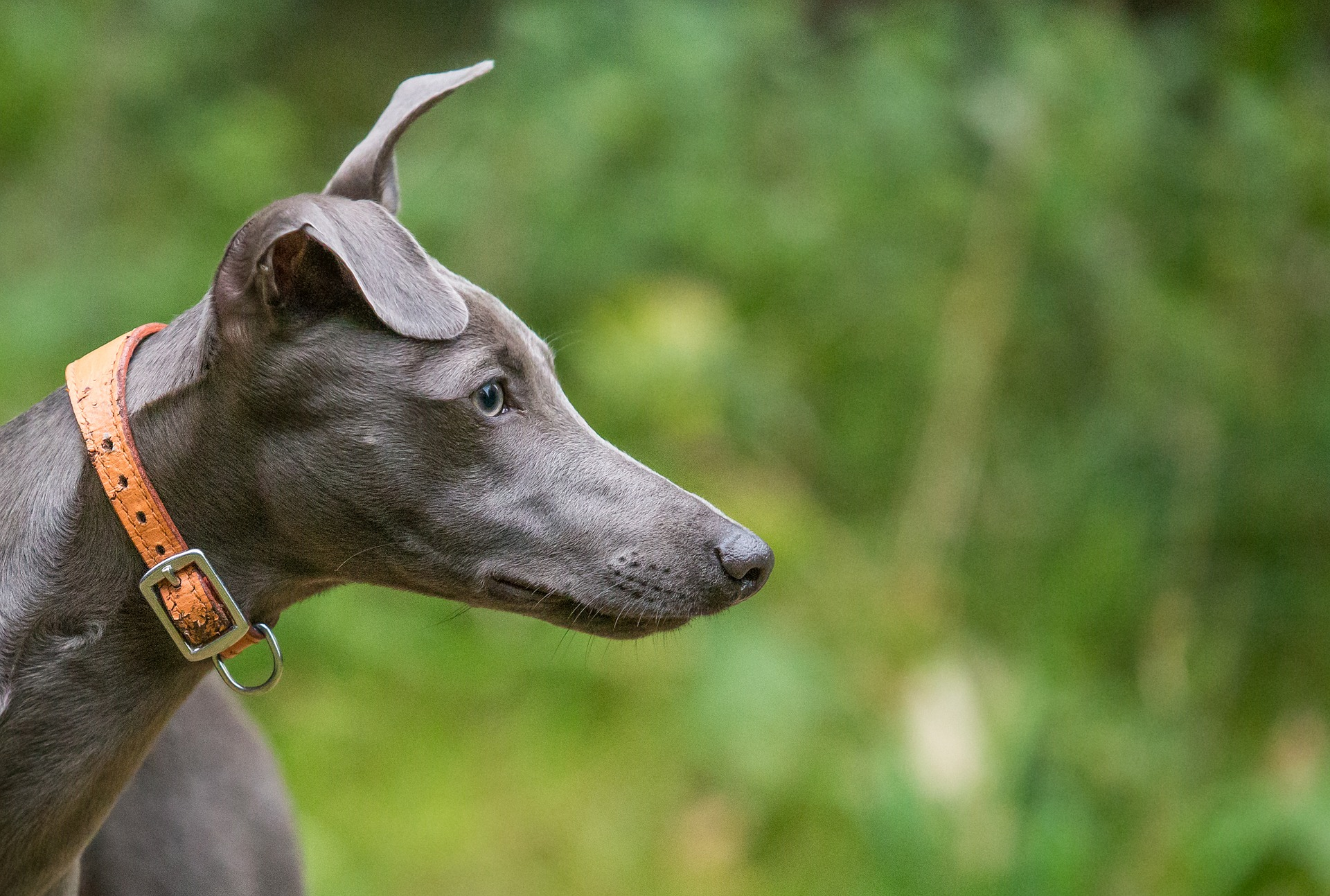 Whippet with high prey drive